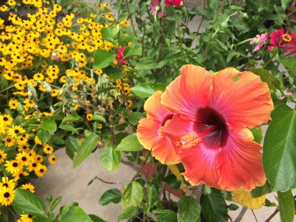 Hibiscus flower goldleaf hydro hibiscus flower izmirmasajfo Gallery